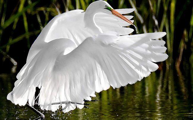 Велика біла чапля - птах в білосніжному вбранні.