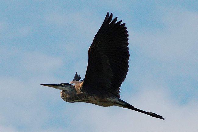 Плавний політ чорної чаплі.