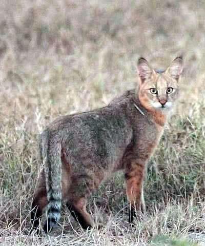 Хаус, або очеретяна кішка (Felis chaus).