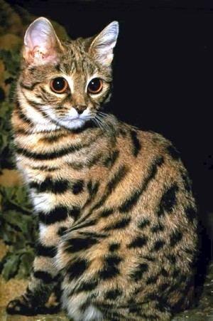 Черноногая кішка (Felis nigripes).