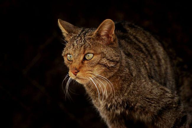 Дика кішка (Felis silvestris).