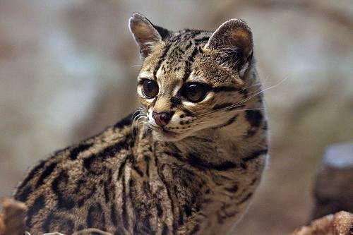 Оцелот (Leopardus pardalis).