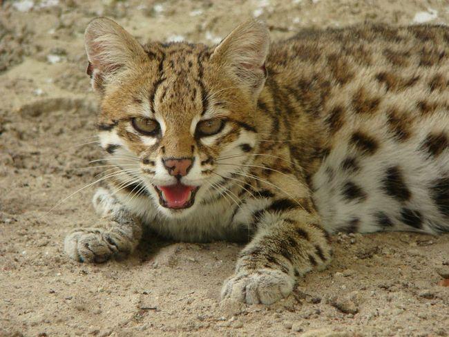 Леопард онцилла, або тигрова кішка (Leopardus tigrinus).