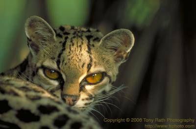 Маргай (Leopardus wiedi).