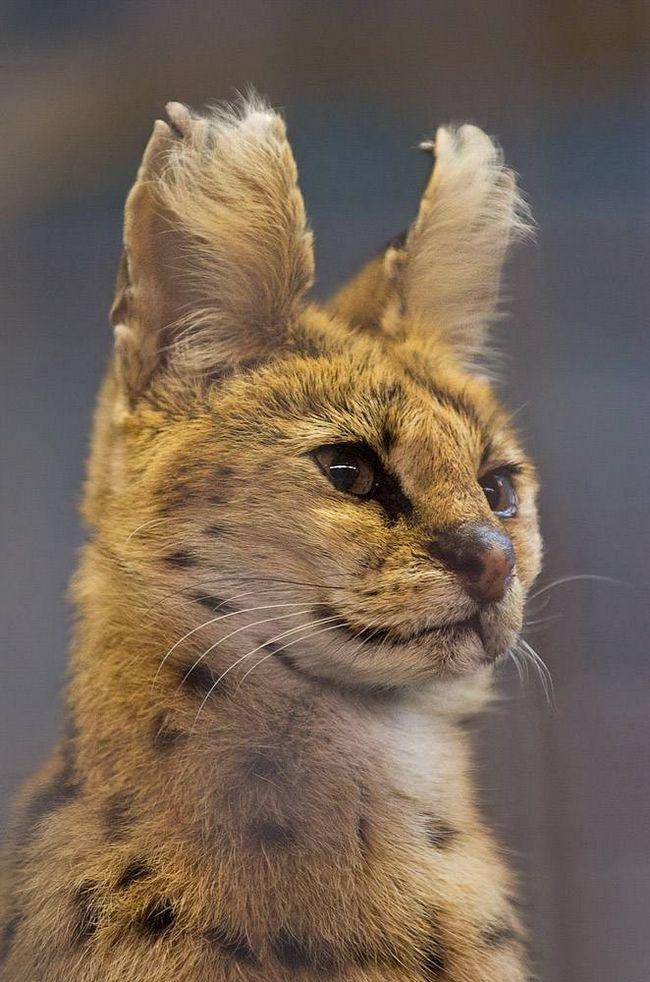 Сервал (Leptailarus serval).