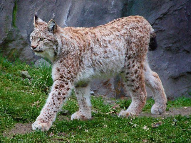 Звичайна, або Євразійського рись (Lynx lynx).
