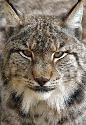 Піренейський, иберийская, або іспанська рись (Lynx pardina).