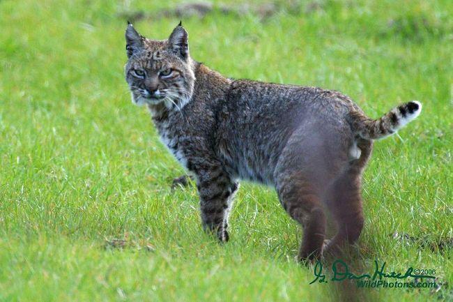 Руда, або червона рись (Lynx rufus).