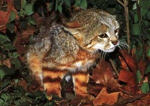 Пампасская кішка (Oncifelis colocolo).