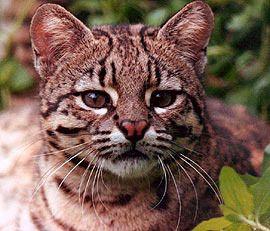Кішка Жоффруа (Oncefelas geoffroyi).