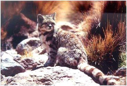 Андская гірська кішка (Oreailurus jacobita)