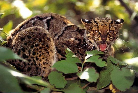 Мармурова кішка - Pardofelis marmorata