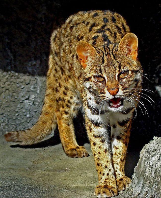 Бенгальська, далекосхідна, або леопардовий кішка (Prionailurus bengalensis).