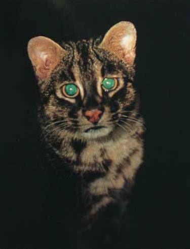 Іріомотський кіт (Prionailurus iriomotensis).