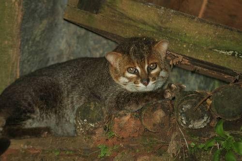 Суматранський, або плоскоголовий кішка (Prionailurus planiceps).