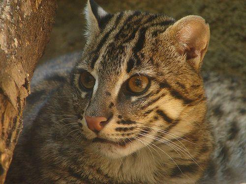 Кіт-рибалка, рибна, або віверрових кішка (Prionailurus viverrinus).
