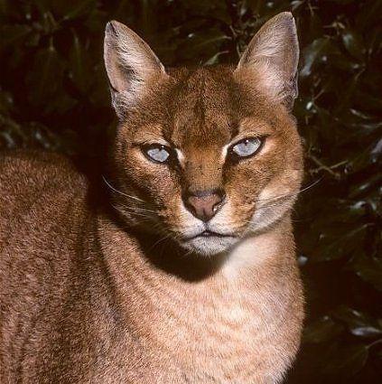Африканська золотиста кішка (Profelis aurata).