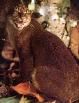 Гніда кішка (Catopuma badia).