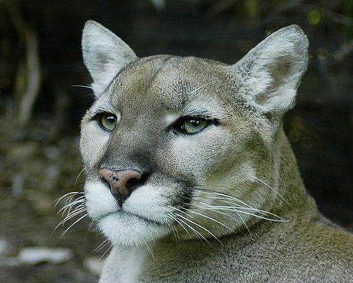 Пума, або кугуар (Puma concolor).