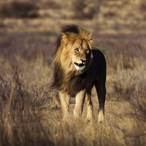 Лев (Panthera leo).