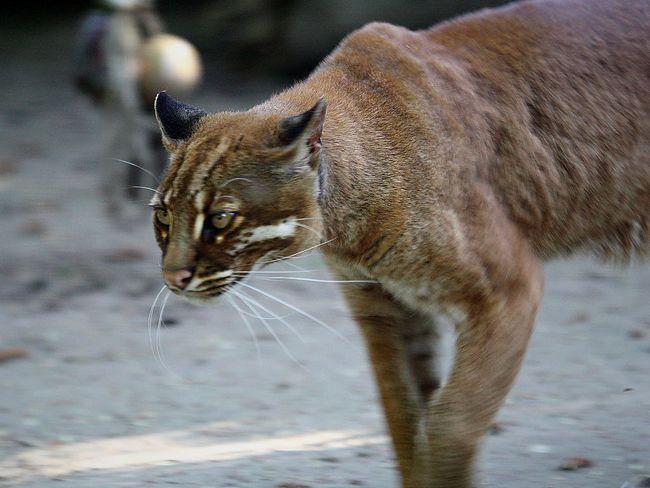 Азіатська золотиста кішка, або кішка Теммінка (Catopuma temmincki).