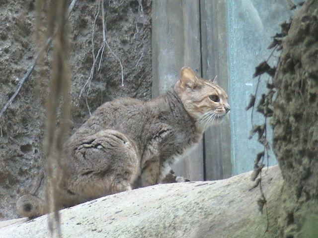Китайська, Гобійського, китайська пустельна, або китайська гірська кішка (Felis bieti).