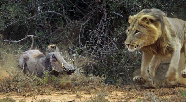 Зустріч бородавочника і голодного лева