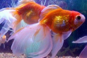 Вуалехвоста акваріумні рибки