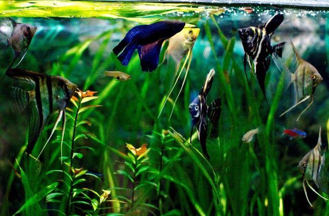 Скалярии з рибкою півник.