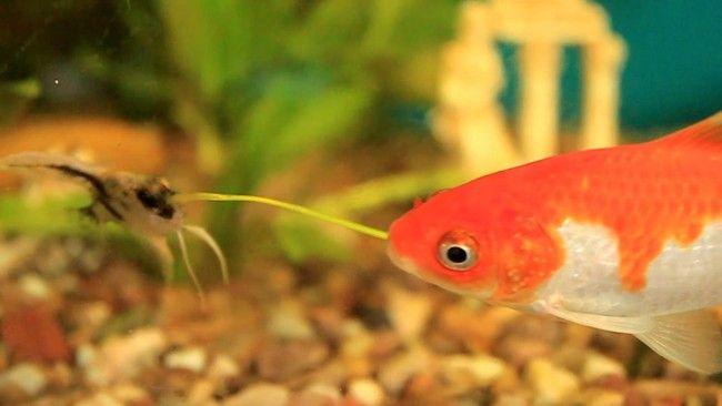 Скалярия і золота рибка.