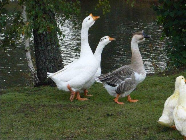 корм для гусей
