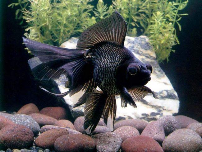 Рибка - чорний телескоп.