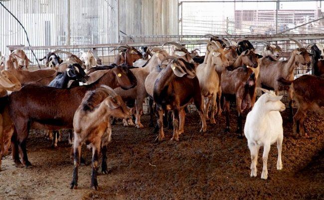 Вибір кози на фермі