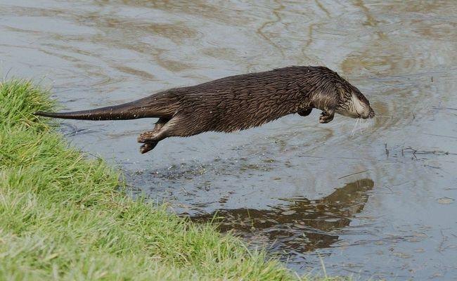 Видра, що стрибає в воду