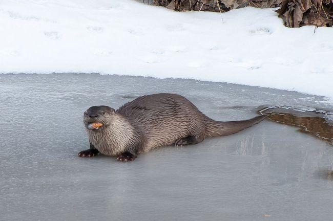Видра на льоду річки поїдає видобутого молюска