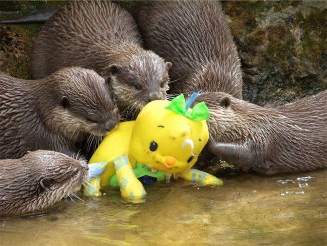 Видри в зоопарку вивчають іграшку