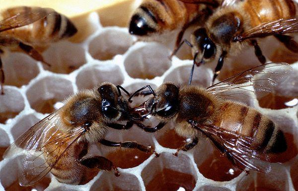 Вимирання бджіл загрожує повним занепадом сільського господарства і голодом