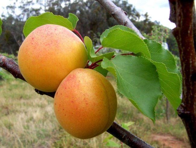 Вирощування абрикоса
