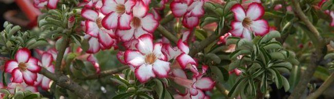 Вирощування адениума в домашніх умовах: особливості посадки і догляду за рослиною