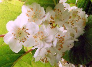 Вирощування актинідії в саду: практичні поради для новачків