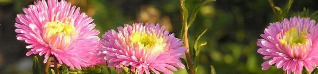 Вирощування айстри або які зусилля докласти, щоб виростити квіти з великими бутонами