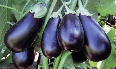 Вирощування баклажанів в відкритому грунті, поради городників