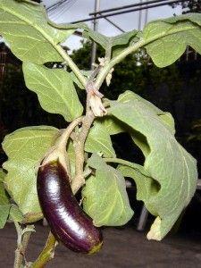 Вирощування баклажанів в теплиці