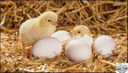 вирощування курчат несучок