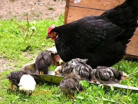Курка з курчатами