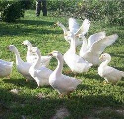 Вирощування гусей породи линда