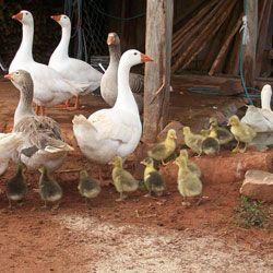 Вирощування і розведення гусей в домашніх умовах: природна і штучна інкубація