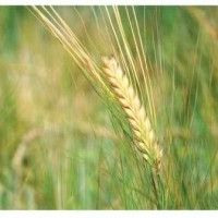 Вирощування ячменю ярого в рисових сівозмінах