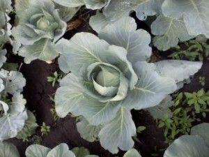 вирощування капусти