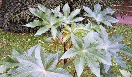 Вирощування рицини, коли садити і як вирощувати